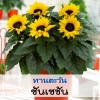 ทานตะวัน ซันเซชั่น (Sunsation Series) 4.49-5.4 บาท/เมล็ด