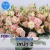 ไม้ตัดดอก ลิซิแอนธัส เรน่า2 (Reina2 Series) 2.39-2.60 บาท/เมล็ด