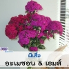 ไม้ตัดดอก ผีเสื้อ อะเมซอน & เธมส์ (Amazon & Themes Series) 2.59-3.95 บาท/เมล็ด