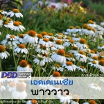 วิธีการเพาะ การดูแล เอคเคเนเชีย( Echinacea )
