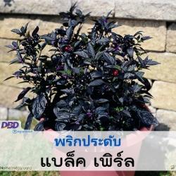 พริกประดับ แบล็ค เพิร์ล (Black Pearl) 5.4-10.00 บาท/เมล็ด