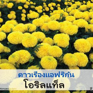 ดาวเรือง โอริลแท็ล ซี่รี่ (Oriental Series) 1.79-2.00 บาท/เมล็ด