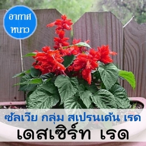 ซัลเวีย กลุ่ม สเปรนเด้น เรด สายพันธุ์ เดสเซิร์ท เรด (Splenden Red - Desert Red) 1.09-2.4 บาท/เมล็ด