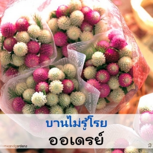 ไม้ตัดดอก บานไม่รู้โรย ออเดรย์ (Audray Series) 1.09-1.30 บาท/เมล็ด