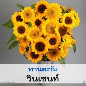 ไม้ตัดดอก ทานตะวัน วินเซนท์ (Vincent Series) 1.99-2.88 บาท/เมล็ด