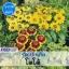 ไม้กระถาง รูดเบ้กเกีย โตโต้ (Toto Series) 1.14 - 1.35 บาท/เมล็ด