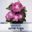 ไม้กระถาง แพงพวย เมกะ บลูม (Mega Bloom Series) 1.29-1.80 บาท/เมล็ด