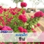 ไม้ตัดดอก หงอนไก่ ชีฟ (Chief Series) 0.99 - 1.20 บาท/เมล็ด