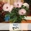ชบา ลูน่า (Luna Series) 9.9-20 บาท/เมล็ด