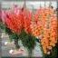 ไม้ตัดดอก ลิ้นมังกร โปโตแมค (Potomac Series) 1.4บาท/เมล็ด