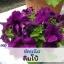 ไม้กระถาง พิทูเนีย ลิมโบ้ (Limbo Series) 1.09-1.38 บาท/เมล็ด