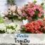 บีโกเนีย โวลูเมีย (Volumia Series) 1.29-1.5 บาท/เมล็ด