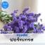ไม้ตัดดอก สแตติส ฟอร์ทเทรส (Fortress Series) 1.19 - 1.40 บาท/เมล็ด