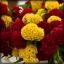 ไม้ตัดดอก หงอนไก่ ชีฟ (Chief Series)1.12บาท/เมล็ด