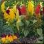 ไม้ตัดดอก สร้อยไก่ เซ็นจูรี่ (Century Series)Volume pack available 0.5 - 0.8 บาท/เมล็ด