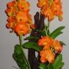 V002-กล้วยไม้ แวนด้า ฟ้ามุ้ย ( สีส้ม สีชมพู สีม่วง)