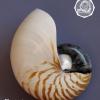 ขายเปลือกหอยงวงช้าง นอติลุส Nautilus pompilus ขนาด 6 นิ้ว NP004