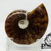 ฟอสซิล Ammonite (Cleoniceras besairiei) Fossil คัดสวยพิเศษ #AM019