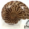 ฟอสซิลหอย Ammonite (Cleoniceras besairiei) #AM022