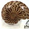 ฟอสซิลหอย Ammonite (Cleoniceras besairiei) #AM022