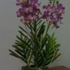 V001-แวนด้าสีม่วง 2 ช่อ ( 27 ดอก)