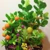 C009-สวนต้นไม้มงคล มะยม ส้ม ขนุน กล้วย_ไซร์ 12-16 นิ้ว