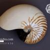 ขายเปลือกหอยงวงช้าง นอติลุส Nautilus pompilus ขนาด 7 นิ้ว NP003