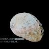 เปลือกหอยเป๋าฮื้อแท้ (Abalone) ผิวธรรมชาติ 002