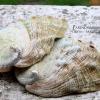 เปลือกหอยเป๋าฮื้อแท้ (Abalone) ผิวธรรมชาติ แบบคู่