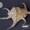 ขายเปลือกหอยจักรนารายณ์ Lambis chiragra สภาพสมบูรณ์ #LC007