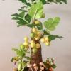 M001-ต้นมะยม 12 นิ้ว