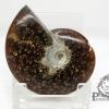 ฟอสซิล Ammonite (Cleoniceras besairiei) Fossil คัดสวยพิเศษ #AM020