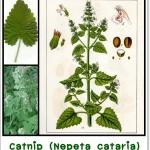 แคทนิป : Catnip (Nepeta cataria) สำหรับคนที่มีน้องแมวควรรู้