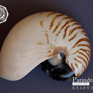 ขายเปลือกหอยงวงช้าง นอติลุส Nautilus pompilus ขนาด 6 นิ้ว NP005