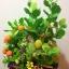 C009-สวนต้นไม้มงคล มะยม ส้ม ขนุน กล้วย_ไซร์ 12-16 นิ้ว thumbnail 9