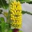 B010-ต้นกล้วย 1 เมตร thumbnail 13