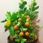 C009-สวนต้นไม้มงคล มะยม ส้ม ขนุน กล้วย_ไซร์ 12-16 นิ้ว thumbnail 7