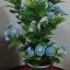 J005-ต้นดอกมะลิ ความสูงรวมกระถาง 18 นิ้ว thumbnail 1