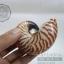 เปลือกหอย นอติลุส หอยงวงช้าง ขนาดเล็ก ขนาดประมาณ 3 นิ้ว ผิวสีธรรมชาติ thumbnail 2
