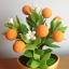 S006-ต้นส้มสูง 6 นิ้ว จำนวน 9 ลูก thumbnail 4