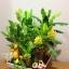C015-สวนต้นไม้มงคล มะยม ส้ม กล้วย ขนุน 3-12 นิ้ว thumbnail 3