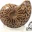ฟอสซิลหอย Ammonite (Cleoniceras besairiei) #AM022 thumbnail 2