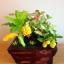 C017-สวนต้นไม้มงคล ทับทิม มะยม ส้ม กล้วย ขนุน_ไซร์ 3-6 นิ้ว thumbnail 4