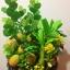 C009-สวนต้นไม้มงคล มะยม ส้ม ขนุน กล้วย_ไซร์ 12-16 นิ้ว thumbnail 4