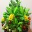 C009-สวนต้นไม้มงคล มะยม ส้ม ขนุน กล้วย_ไซร์ 12-16 นิ้ว thumbnail 5