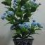 J005-ต้นดอกมะลิ ความสูงรวมกระถาง 18 นิ้ว thumbnail 8