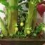B013-ต้นกล้วย 20 นิ้ว thumbnail 11