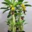 B010-ต้นกล้วย 1 เมตร thumbnail 10