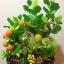 C009-สวนต้นไม้มงคล มะยม ส้ม ขนุน กล้วย_ไซร์ 12-16 นิ้ว thumbnail 1