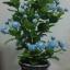 J005-ต้นดอกมะลิ ความสูงรวมกระถาง 18 นิ้ว thumbnail 5